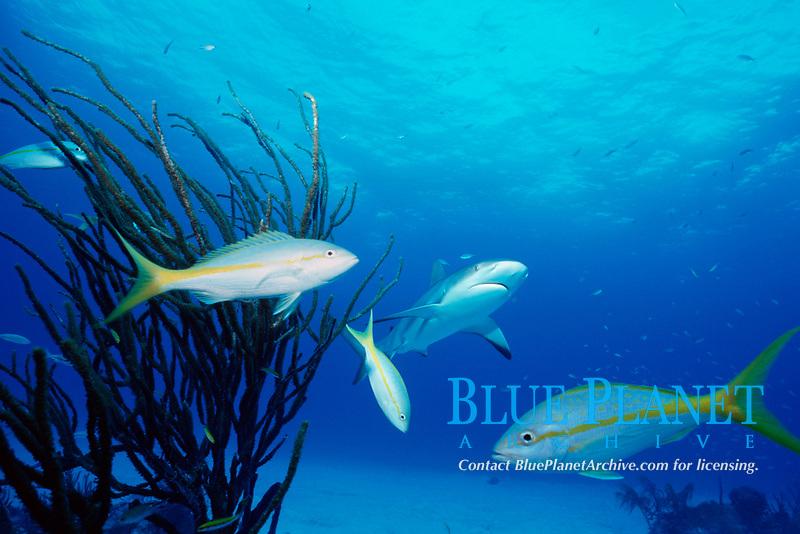 Caribbean reef sharks, Carcharhinus perezii, and yellowtail snappers, Ocyurus chrysurus, Nassau, New Providence Island, Bahamas ( Atlantic )