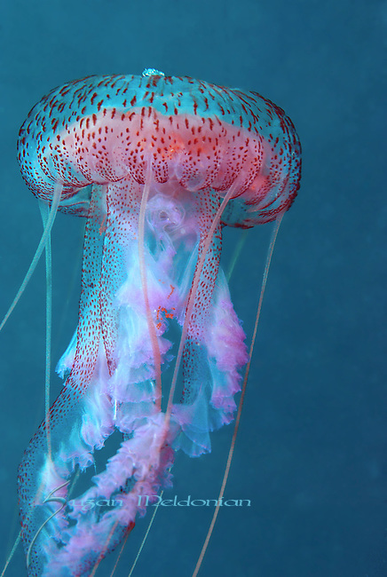Jellyfish, Flamenco Dance,Mauve Stinger (Pelagia noctiluca)