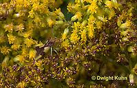 AM01-540z  Ambush Bug camouflaged on goldenrod, Phymata americana