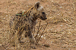 Spotted Hyena (Crocuta crocuta) five month old male pup smelling twig that has been scent marked by adult, Kruger National Park, South Africa