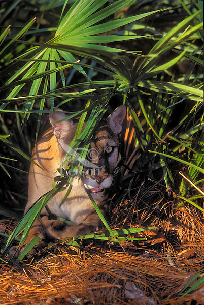Florida Panther (Felis concolor coryi) watches and waits for prey in pine and saw palmetto forest. Endangered Species. Florida.