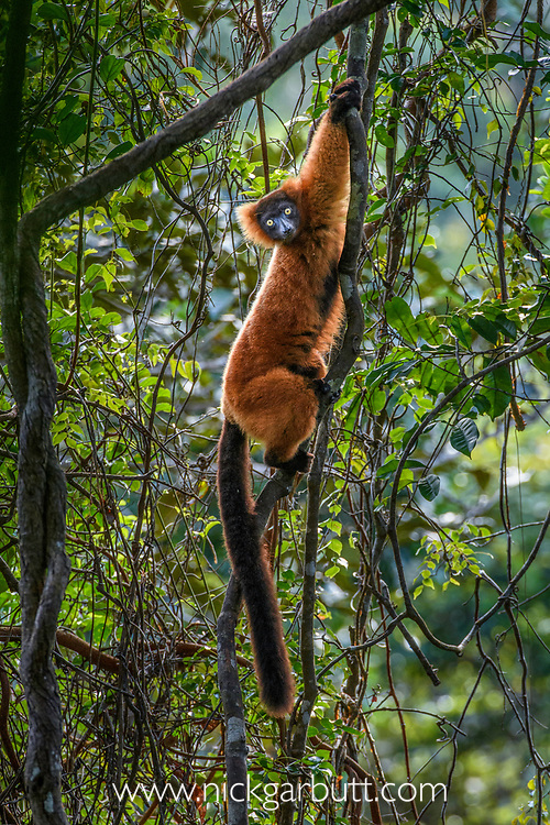 Female red ruffed lemur (Varecia rubra) climbing in lowland rainforest understorey. Masoala National Park, north-east Madagascar. Endemic. Critically Endanged.