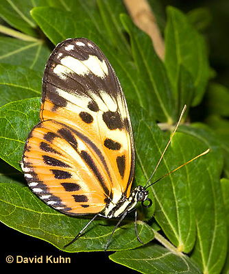 0101-0903  Isabella Heliconian Butterfly (Isabella Tiger), Eueides isabella, Central America © David Kuhn/Dwight Kuhn Photography