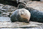 Harbor seal hauled out on riocks, Boothbay Harbor, Maine