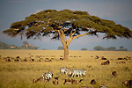 Acacia Tree (Acacia sp.) and herds of Wildebeest and Zebra with thundery sky behind. Serengeti National Park, Tanzania.