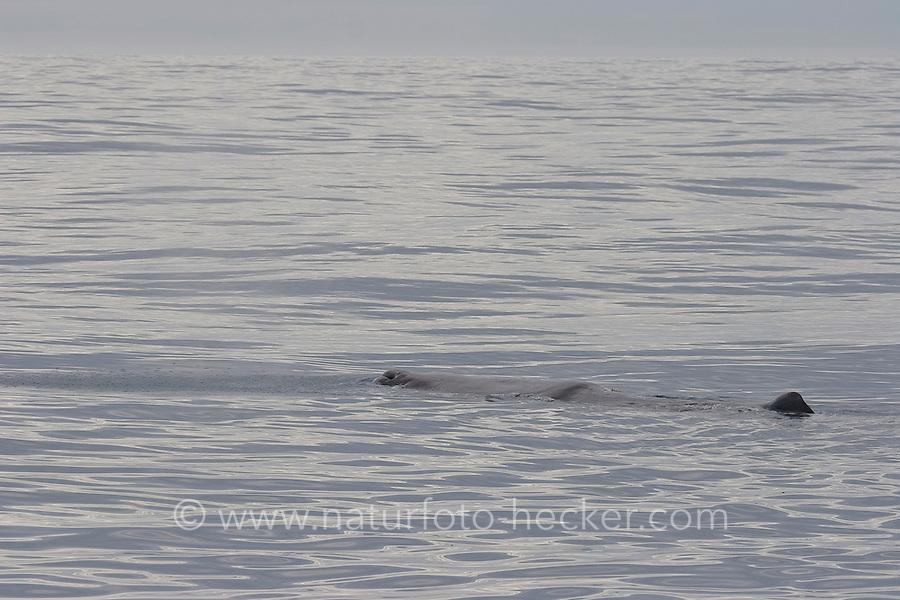 Auftauchender Pottwal, Pott-Wal, Pott - Wal vom Schlauchboot aus mit einem Sender markieren, Andenes, Nord - Norwegen, Physeter macrocephalus, Physeter catodon, Potwal, Cachalot, Kaschelot sperm whale, great sperm whale, cachalot