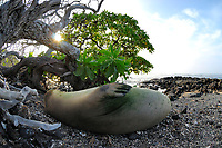 Hawaii, USA, Pacific Oceanan Monk seal B18 B19, Neomonachus schauinslandi, sleeping on a discarded fishing line, Honokohau National Historical Park, Kailua Kona, The Big Island of Hawaii, USA, Pacific Ocean