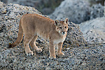 Mountain Lion (Puma concolor) six month old female cub, Torres del Paine National Park, Patagonia, Chile