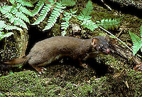 MA21-022z  Long-Tailed Weasel - in summer brown coat - Mustela frenata