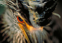 Yellow-crowned Night Heron, unfledged young. Life cycle of birds. Wading birds.
