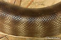 0422-1107  Woma (Ramsay's python, Sand python), Detail of Skin and Scales, Australia, Endangered Snake, Aspidites ramsayi  © David Kuhn/Dwight Kuhn Photography