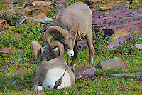 Rocky Mountain Bighorn Sheep rams or Mountain Sheep rams (Ovis canadensis) dominance behavior.  Glacier National Park, Montana.  Fall.