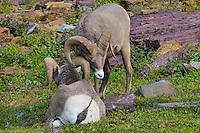 Rocky Mountain Bighorn Sheep rams or Mountain Sheep rams (Ovis canadensis) dominance behavior.  Glacier National Park, Montana.  Fall.