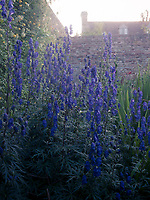 A flowerbed of blue delphiniums in the shelter of a high garden wall