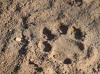 A leopard track at MalaMala.