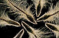 Gewöhnliche Küchenschelle, Gewöhnliche Kuhschelle, Samen, Frucht, Pulsatilla vulgaris, pasque flower, pasqueflower, common pasque flower, Dane's blood