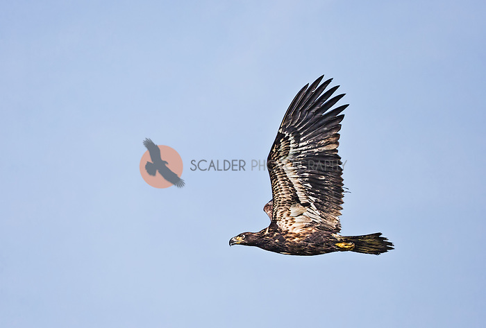 Juvenile Bald Eagle in flight with wings aloft