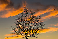 A winter-bare tree stands in silhouette against a  sky  glowing with sunset orange clouds.