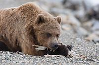 Grizzly Bear (Ursus arctos) scavenging the remains of a dead Tundra Swan (Cygnus columbianus). Seward Peninsula, Alaska. June.