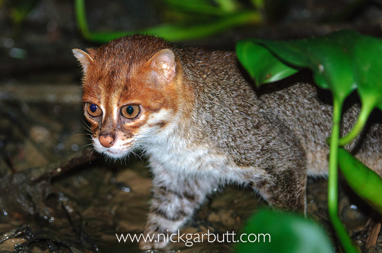 Adult  flat-headed cat (Prionailurus planiceps) hunting for frogs in river margins at night. Menanggol River, tributary of the Kinabatangan River, Sabah, Borneo. Endangered.