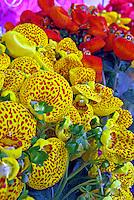 Flores. Calceolária, sapatinho-de-vIenus ( Ageratum houstonianum). SP. Foto de Manuel Lourenço.