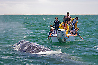 Excited whale watchers with a California Gray wh (Eschrichtius robustus) in San Ignacio Lagoon on the Pacific Ocean side of the Baja Peninsula, Baja California Sur, Mexico. Each winter thousands of California gray whales migrate from the Bering and Chukchi seas to breed and calf in the warm water lagoons of Baja California. San Ignacio lagoon is the smallest of the three major such lagoons. Current (2008) population estimates put the California Gray wh at between 20,000 and 24,000 animals.
