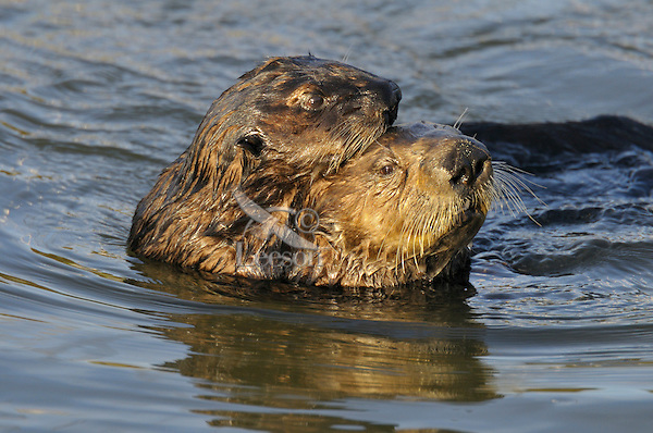Sea Otter (Enhydra lutris) mother with 1/2 grown pup (approx. 3 to 4 months old).