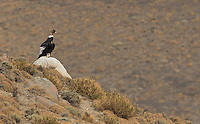 The Andean condor is the world's largest bird of prey.