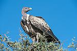 Rüppell's Griffon Vulture (Gyps rueppellii) perched on bush. Serengeti National Park, Tanzania.