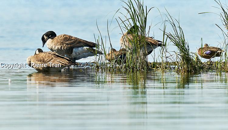 Animaux dans la nature a Montreal et les environs, 2021<br /> - Canards<br /> <br /> Photo : Pierre Tran - AQP