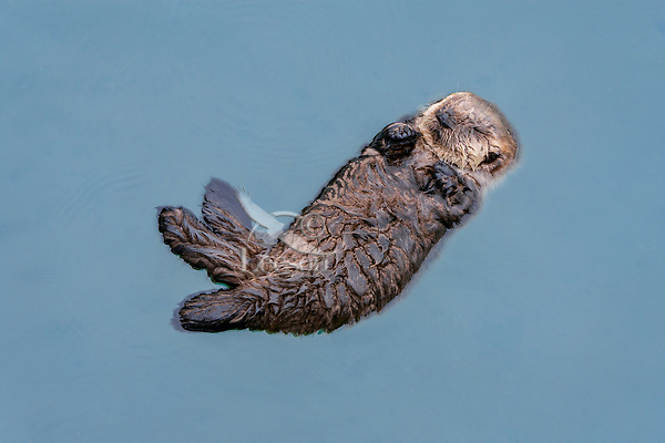 Very Young Sea Otter (Enhydra lutris) pup sleeping in sheltered bay on Prince William Sound, Alaska.  Spring.   About all this pup can do is float (hasn't learned to swim yet}, sleep, and cry for its mom.