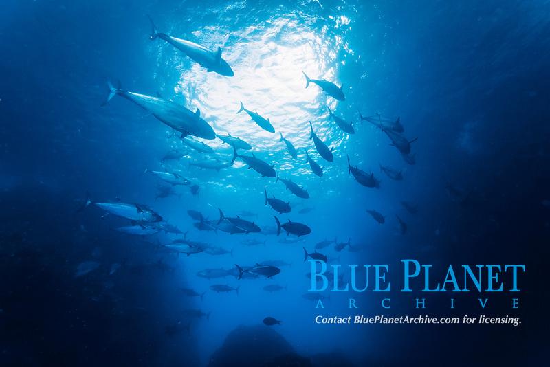 dogtooth tuna, Gymnosarda unicolor, Yome-jima, Bonin Islands, Ogasawara Islands, Natural World Heritage Site,  Tokyo, Japan, Pacific Ocean