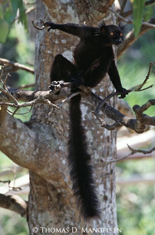 A male black lemur perches in a tree in Madagascar.