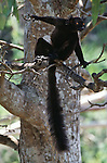 A male black lemur perches in a tree in Madagascar.