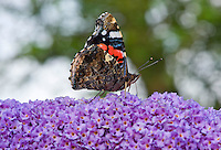 Side view of a Red Admiral (Vanessa atalanta) butterfly on Buddleia.