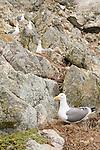 Western Gull (Larus occidentalis) group nesting on cliff, South Farallon Islands, Farallon Islands, Farallon National Wildlife Refuge, California