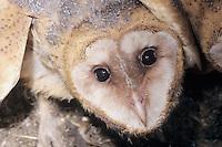 Barn Owl, Tyto alba ,young, Lake Corpus Christi, Texas, USA, June 2003