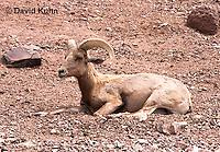 0607-1101  Bighorn Sheep (Mountain Sheep), Ovis canadensis  © David Kuhn/Dwight Kuhn Photography