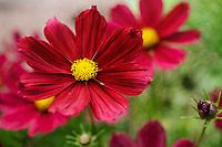 Cosmos bipinnatus 'Casanova Red'
