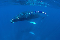 Humpback whales of the Silver bank, Domincan Republic.Cow and Calf