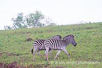 Africa, Swaziland, Malkerns. Milwane Nature Reserve game drive, zebra.