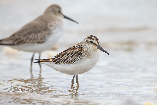 Broad-billed Sandpiper (Limicola falcinellus) in in fresh juvenile plumage. Geum Estuary, South Korea. October.