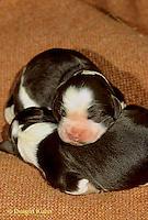 SH20-002z  Dog - English Springer puppies just born