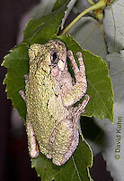"0917-07tt  Gray Tree Frog - Hyla versicolor ""Virginia"" © David Kuhn/Dwight Kuhn Photography"
