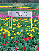 Tulip rows at Greengable Farms. Corvallis, Oregon.