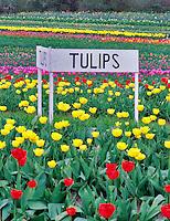 Tulip rows at Greengable Farms. Corvallis, Oregon.
