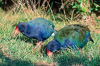takahe, Porphyrio hochstetteri, also known as the South Island takahe, Tiritiri Matangi Island, New Zealand