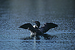 A common loon displays in Grand Teton National Park, Wyoming.