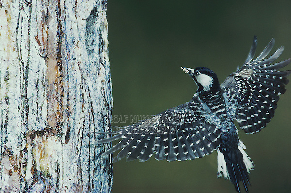 Red-cockaded Woodpecker (Picoides borealis), adult landing at nesting cavity, Wake County, North Carolina, USA
