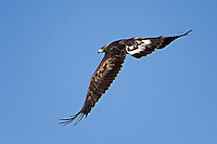 Golden Eagle, New Mexico roadside
